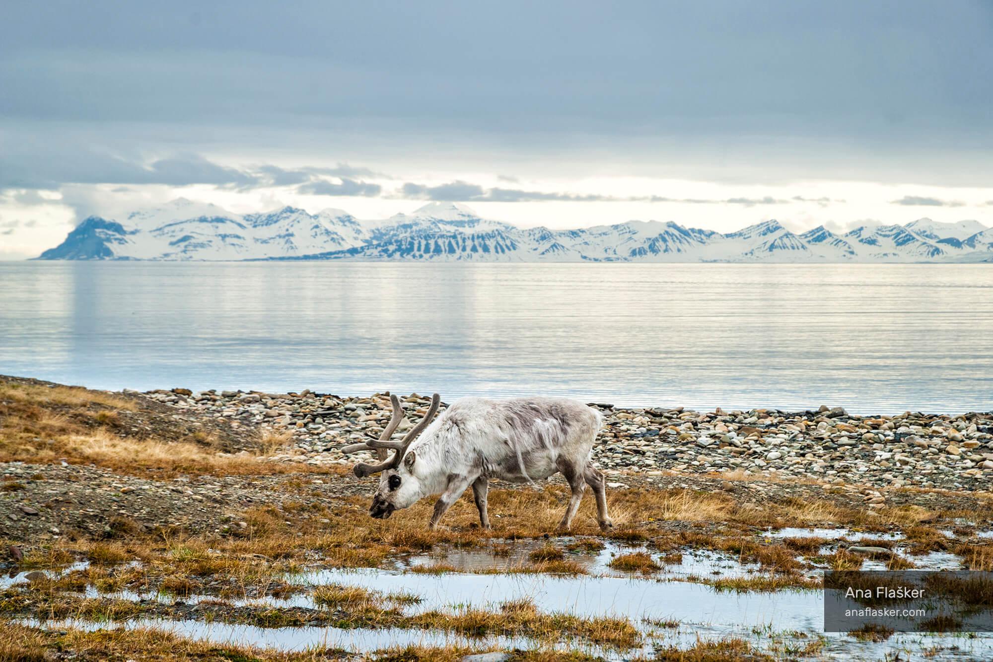 Raindeer Svalbard Arctic